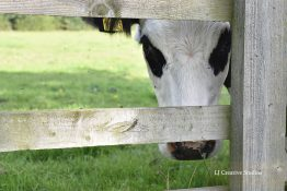 Chloe the cow photography print