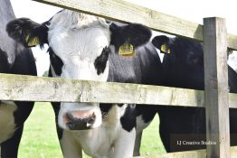 Patch the cow photography print