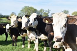 Cows in a line photography print