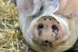 George the pig photography print