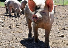 Walking pig photography print