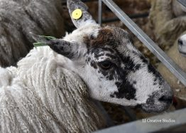 Sheep photography print