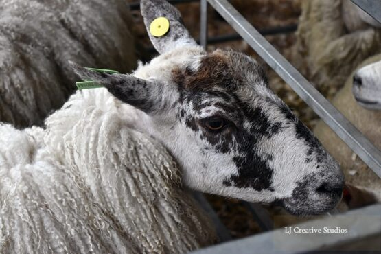 Sheep photography print