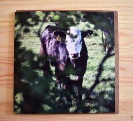 Calf photograph blank greeting card