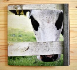Chloe cow photograph blank greeting card
