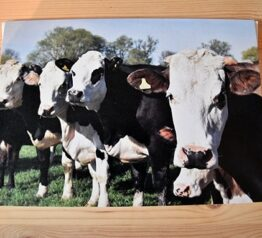 Cows in a line photograph blank greeting card