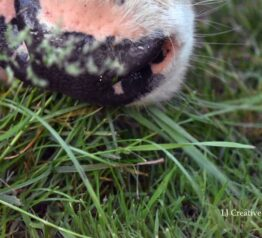 Cow nose photography print