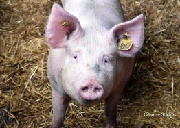 Pig photography print