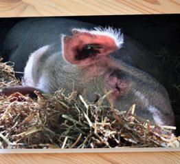 Sleeping pig photograph blank card