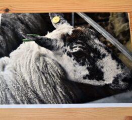 Sheep photograph blank greeting card