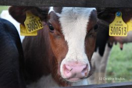 'Springer' calf photography print