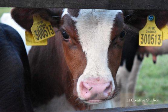 'Springer' calf photography print