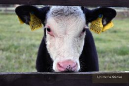 Young calf photography print